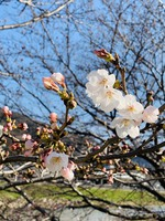 瀬野川の桜が咲き始めました♪